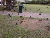 Burung-burung dara