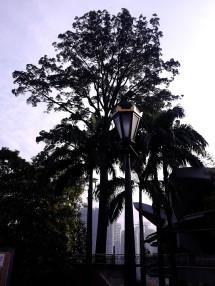Jelutong Tree