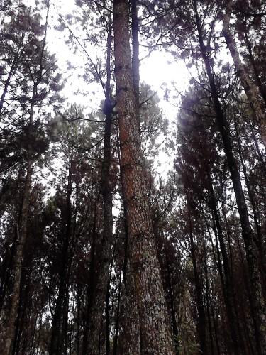 Hutan yang tumbuh rapat