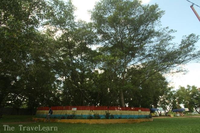Pohon Cinta | Tree of Love of Pulau Kemaro