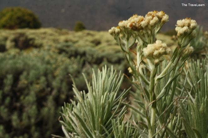 Bunga-bunga Edelweis di Tegal Alun, Gunung Papandayan