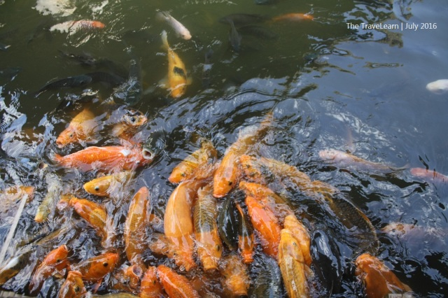 There are many koi fishes in Boyong Resto